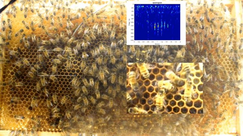 Медоносные пчелы в улье