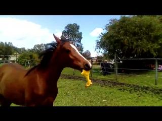 Конь и его первое знакомство с резиновой курицей