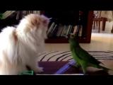Наглый попугай и кот! Приколы с животными.