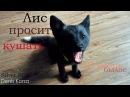 Лиса просит кушать | Лис кусается 🦊| Ой всё | Akira Fox 🖤| Уруру | Silver/Black fox | Fox life | 4K