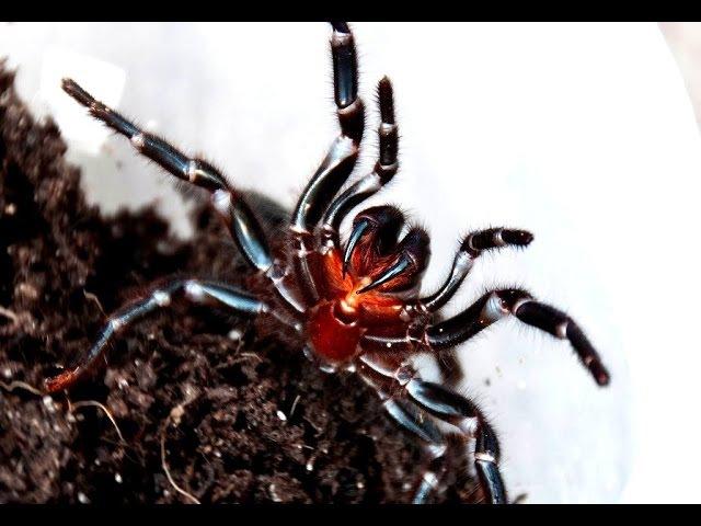 Тим Фолкнер и сиднейский воронковый паук (Atrax robustus)