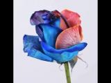 Вот такую красоту можно сделать дома! Роза разных цветов
