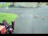 Погоня лисы за курицей во дворе у олигарха США в Уэльсе