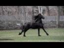 Фризская порода лошадей Вороной конь Красивая лошадь галоп