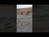 Кангал волкодав против немецкой овчарки (Kangal vs German Shepherd)