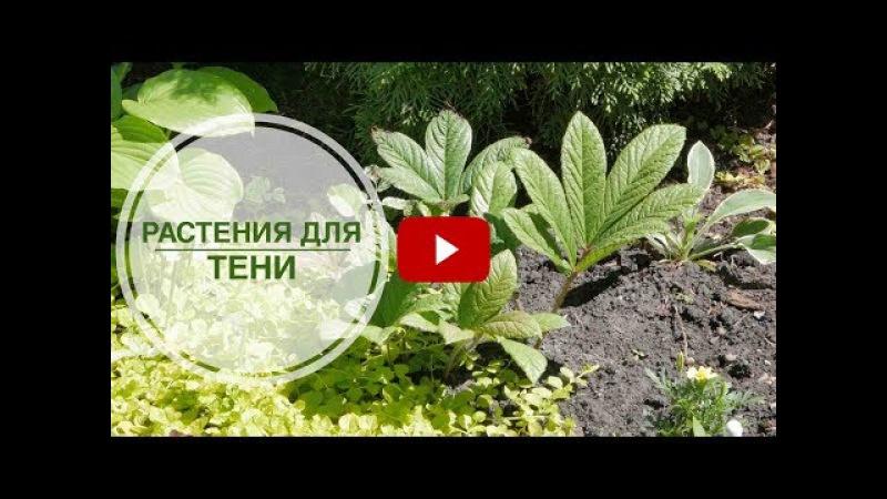 Что посадить в тени? 🌺 Лучшие теневые растения 🌺 видео обзор тенелюбивых растений hitsadTV