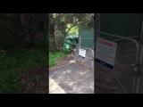 Коала помогает детёнышу перелезть через забор