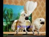 Продажа птенцов какаду из питомников Европы
