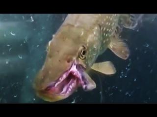 ЩУКА МОНСТР ДВОЙНАЯ ЧЕЛЮСТЬ КАК У ХИЩНИКА !!!! Вот это Рыбалка)))))!!!Ты не поверишь!!!2017##137 ЩУКА АТАКУЕТ ОГРОМНАЯ БОЛЬШАЯ ЩУКА МУТАНТ Рыбалка на щуку, щука на спиннинг, ловля весной на реке Рыбалка 2017 лучшие