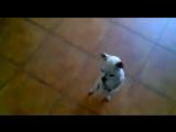 Собачка - пляшет