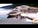 Cumi Raksasa Terdampar di Pulau Seram, Maluku