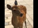 Hilarious screaming deer in Nara Japan (Original)
