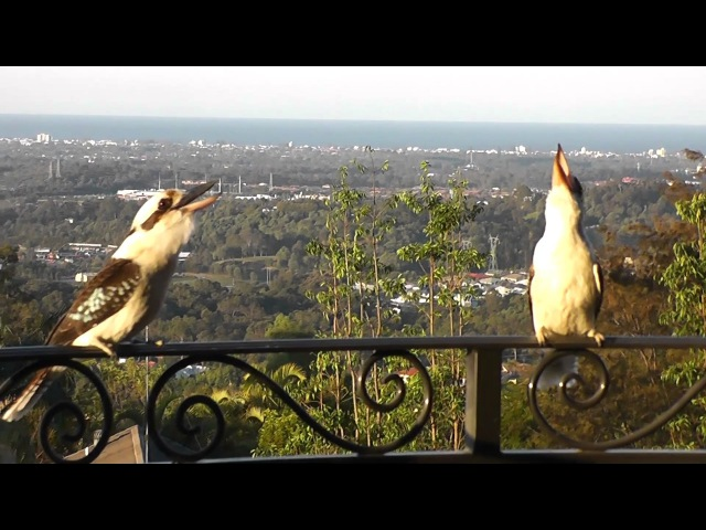Kookaburra call (Two Laughing Kookaburra Laughing) SO LOUD!