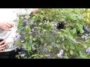 Редкие комнатные цветы Голубой клеродендрон. Сайт Садовый мир