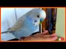 Волнистый попугай Тоша самый умный и хитрый попугайчик в мире 😜