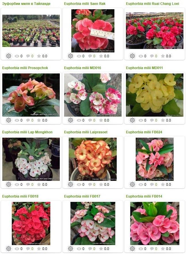 Продаются Euphorbia milii Эуфорбия миля