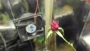 Моя роза на гидропонике листья згарели щяс поправил новые почки пошли
