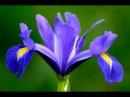 Iris FLEUR