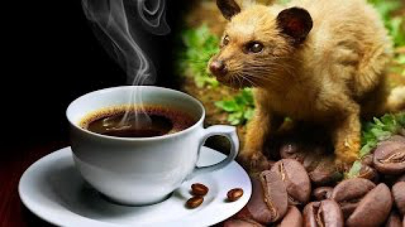 Kopi Luwak - The exotic coffee from civet feces