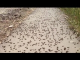 Нашествие саранчи в Ставропольском крае