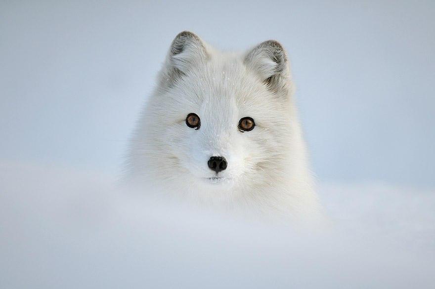 TLfs vNNaEY - Фотографии из жизни лисы (20 фото)