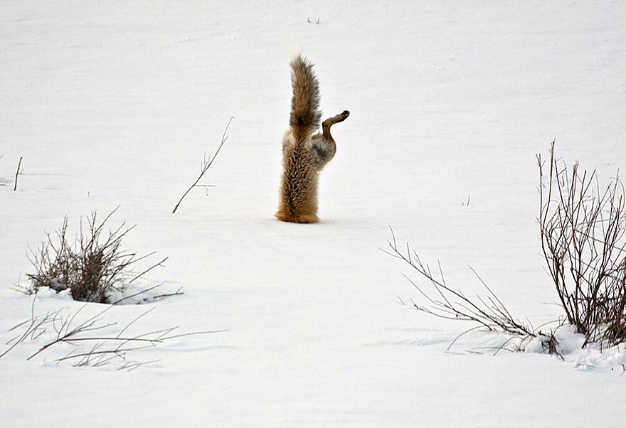 Mu yPA6Jry8 - Фотографии из жизни лисы (20 фото)