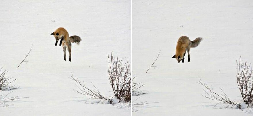 nuzTYFc4Vcw - Фотографии из жизни лисы (20 фото)