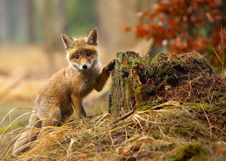 PhYagYKEv3s - Фотографии из жизни лисы (20 фото)