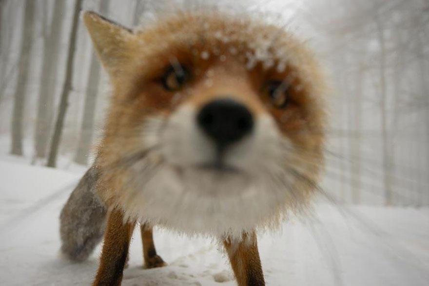 QvoAykDCiyE - Фотографии из жизни лисы (20 фото)