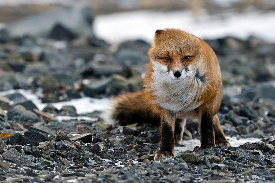 nK4LXgoAY Y - Фотографии из жизни лисы (20 фото)
