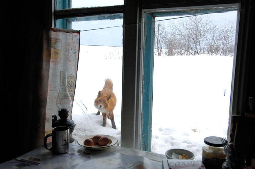 4Se51pHsm2o - Фотографии из жизни лисы (20 фото)