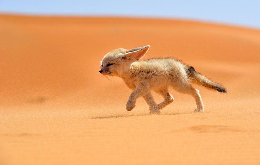 jscs1w ZK1A - Фотографии из жизни лисы (20 фото)