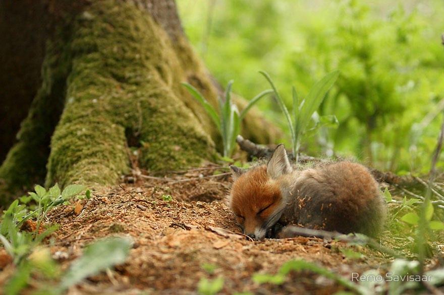 PtLa slWa w - Фотографии из жизни лисы (20 фото)