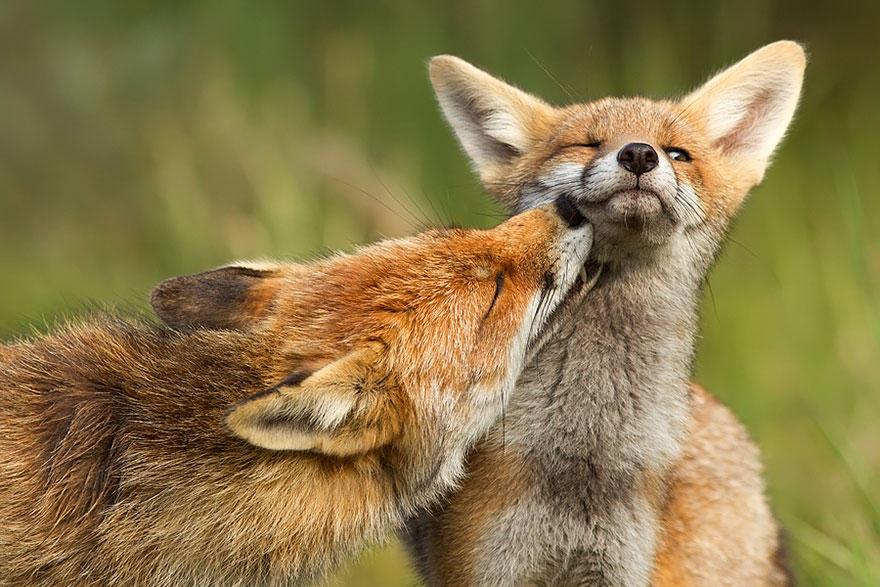 3wDzE1iw37Q - Фотографии из жизни лисы (20 фото)