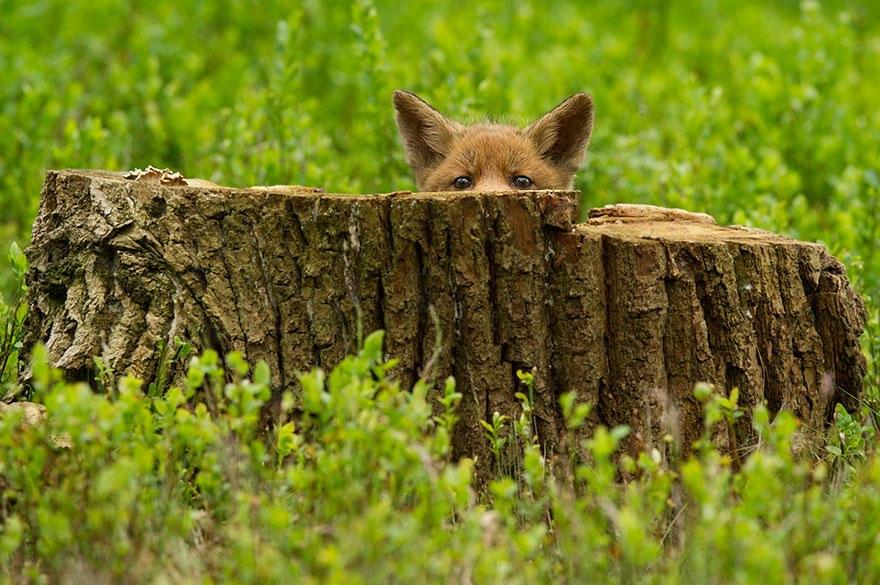 ChHaIWmDaLA - Фотографии из жизни лисы (20 фото)