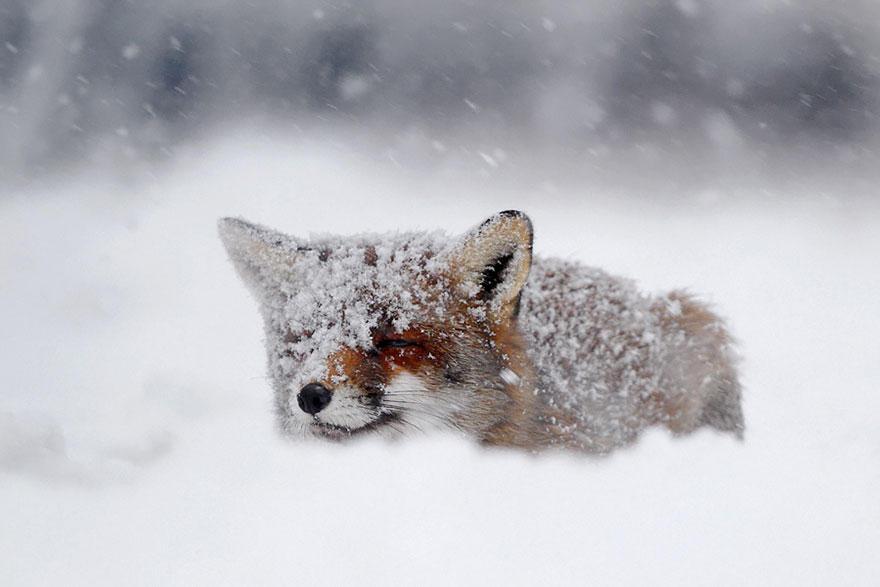 8fOsYhvBnsQ - Фотографии из жизни лисы (20 фото)