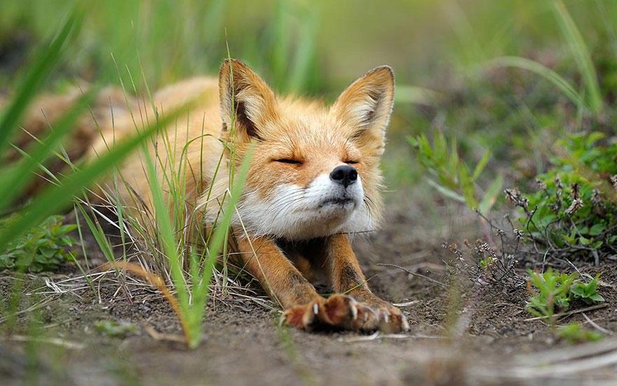Фотографии из жизни лисы (20 фото)