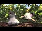 Драка двух крыс из-за самочки
