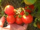 Сорт томатов Санька .