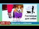 Прогулка с собакой два джек рассел терьера Гостиница для собак у Elli Di