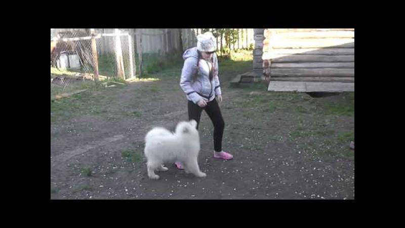 самоедская девочка Белый Волк Гретель Гримм 4 месяца