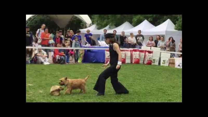 Выступление Пияк Екатерины и керн терьера EESTILESS UNICUM на фестивале Собаки в городе