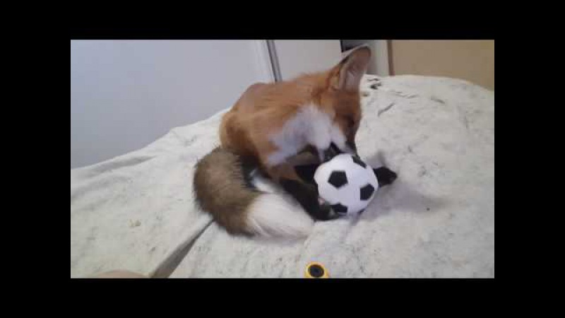 Tiki the fox. Unpacking the toy ball then grooming it (Day 107)