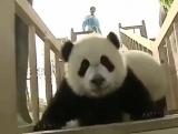 Веселые будни панды | ПРИКОЛЬНЫЕ ЖИВОТНЫЕ, САМЫЕ СМЕШНЫЕ МОМЕНТЫ С ЖИВОТНЫМИ