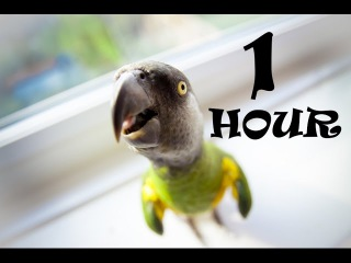 Ultimate 1 HOUR Funny PARROTS doing FUNNY Stuff ! Best Videos Vines COMPILATION 2017
