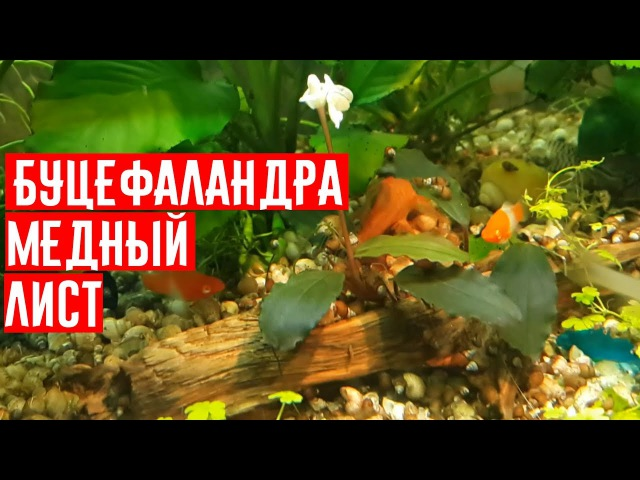 Буцефаландра Буцефаландра медный лист Буцефаландра Копер Лиф Мелави