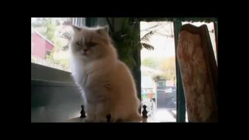 Гималайская кошка описание породы, характер, уход