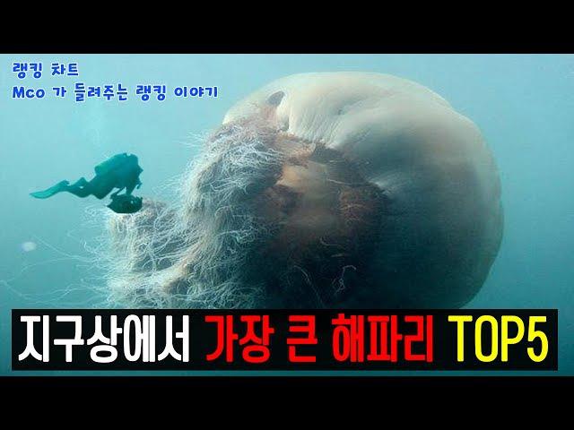 [랭킹 차트] 시청자 신청 랭킹! 지구상에서 가장 큰 해파리! TOP5(Mco가 들려주는 랭