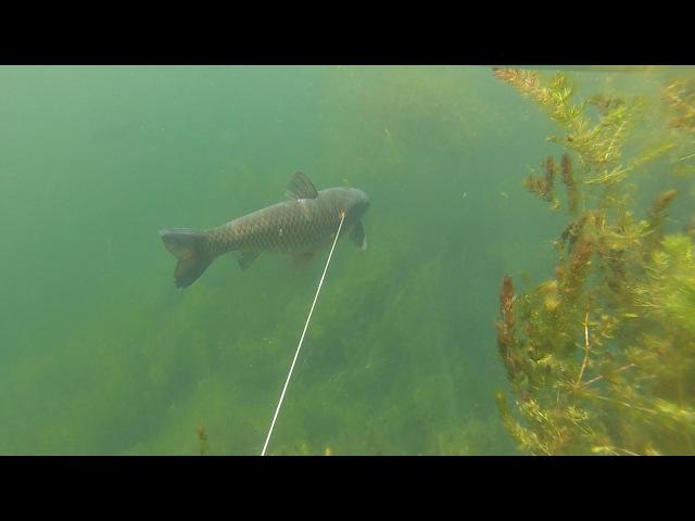 Сазаны и Амуры под поверхностью воды. Подводная охота с водной глади.