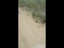 Охота на зайца с гончими) Акын Сара